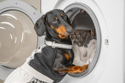Funny dachshund dog in maid pink uniform with apron does housework and puts dirty laundry in drum of washing machine to clean. Daily chores of housewife.