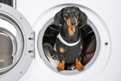 Funny dachshund dog in maid uniform with apron does housework and peeps out drum of washing machine with dirty linen. Daily chores of housewife.