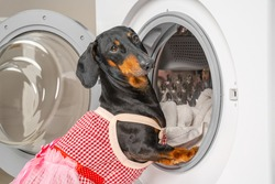 Funny dachshund dog in maid uniform with apron does housework and puts dirty laundry in drum of washing machine to clean. Daily chores of housewife.