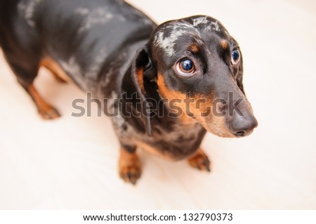 funny dachshund dog standing on the floor in the room. top view