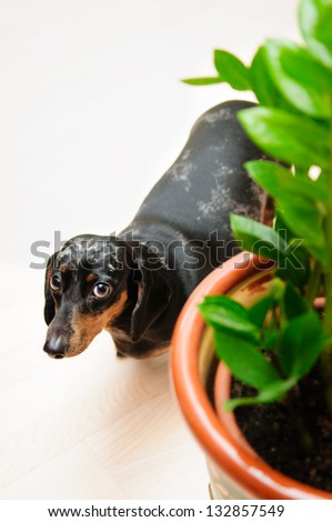 funny dachshund dog standing on the floor in the room. top view. portrait close-up. green house plant near to a dog