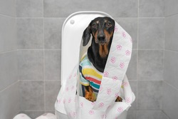 Funny Dachshund in colorful t-shirt wrapped with toilet paper sits on toilet bowl in restroom with grey tiled walls closeup