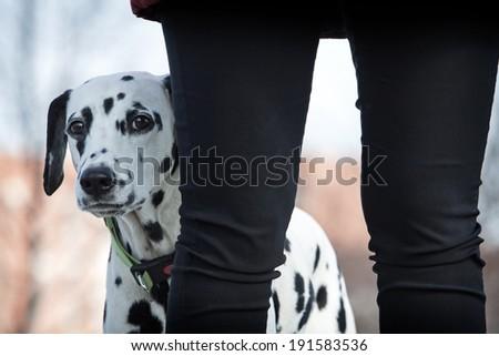 Funny Dalmatian dog looking at camera
