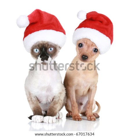 Funny Devon-rex cat and Toy-terrier in Christmas hats on a white background