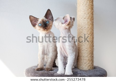 Funny devon rex kittens on the scratching post