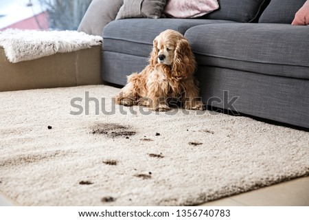 Funny dog and its dirty trails on carpet Stockfoto ©