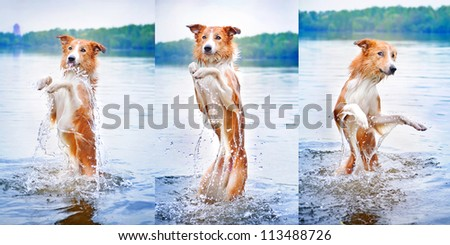 Funny dog border collie dance into the water