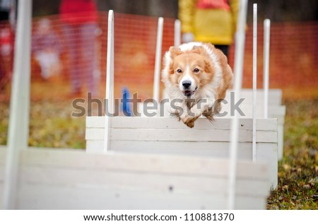 funny dog border collie jumping in competitions of flyboll #110881370