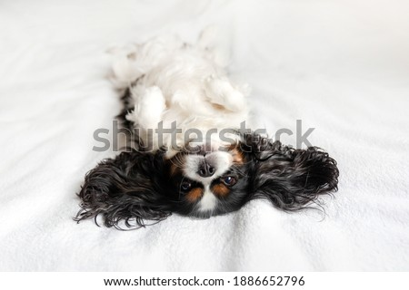 Funny dog,  cavalier spaniel relaxing on bed with belly up Photo stock ©