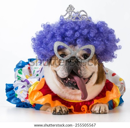 funny dog english bulldog dressed up like a clown on white background