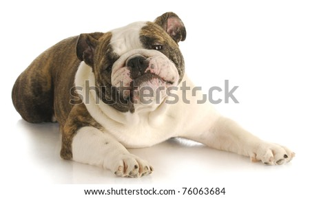 funny dog - english bulldog with silly expression laying down on white background