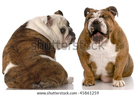 funny dog fight - english bulldog laughing at another with back to viewer