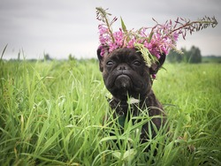 Funny dog in a wreath from wild flowers in the field