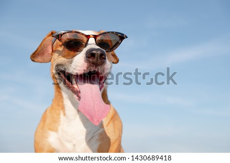 Funny dog in sunglasses outdoors in the summer. Cute staffordshire terrier posing and smiling, summer vacation and holidays concept