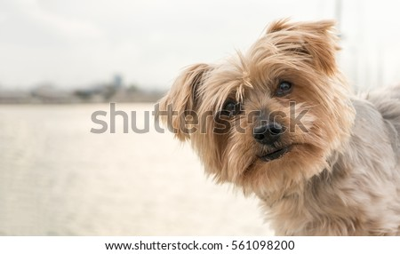 Stock Photo funny dog isolated face peeking from one side, surprised dog. dogguie with curiosity expression raising his ears. Hey what's up dog brown Yorkshire Terrier dog. Blurry background