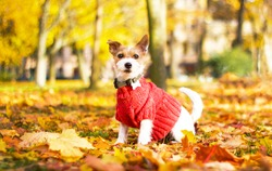 Funny dog Jack Russell Terrier sitting in the leaves in the park on a fall day. An animal in a sweater, on the street in a square. Autumn mood. Dog parson terrier plays in maple red and yellow leaves.