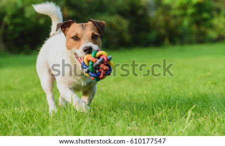 Funny dog looking at camera playing with toy ball #610177547