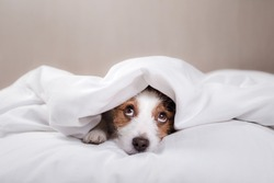 funny dog lying in bed. Jack Russell Terrier cute faces