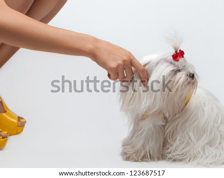 Funny dog. Maltese dog with red bow on head