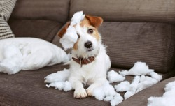 FUNNY DOG MISCHIEF. NAUGHTY JACK RUSSELL HOME ALONE AFTER BITE A PILLOW. SEPARATION ANXIETY CONCEPT