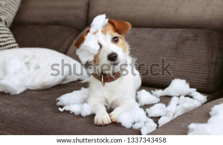 FUNNY DOG MISCHIEF. NAUGHTY JACK RUSSELL HOME ALONE AFTER BITE A PILLOW. SEPARATION ANXIETY CONCEPT Stock photo ©