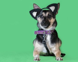 Funny dog mongrel with cat's toy ears on a green background