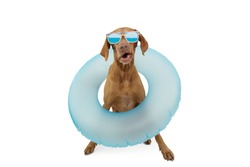 Funny dog pet going on summer vacations with a blue ring inflatable. Isolated on white background.