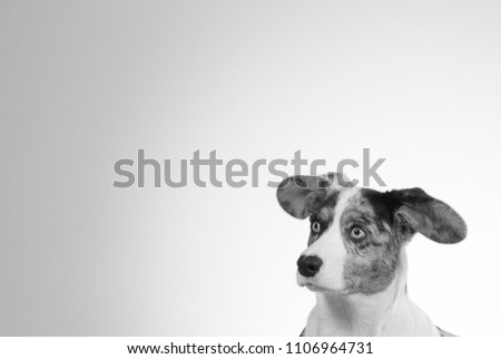 Funny dog picture in black and white. Corgi puppy with big ears. Isolated on white. Copy space.