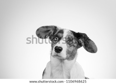 Funny dog picture in black and white. Corgi puppy with big ears isolated on white. Copy space.