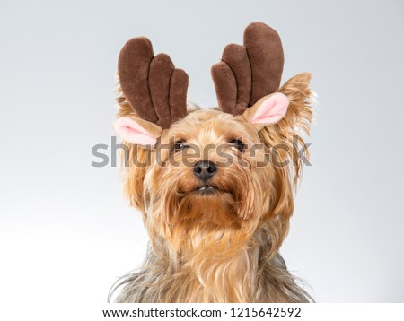 Funny dog picture, Yorkshire terrier dog wearing horns. Christmas dog concept image. Image taken in a studio with white background.