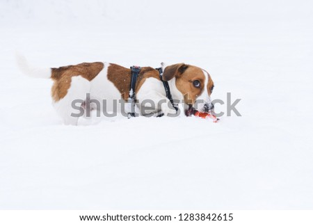 Funny dog playing on snow fears for his toy #1283842615