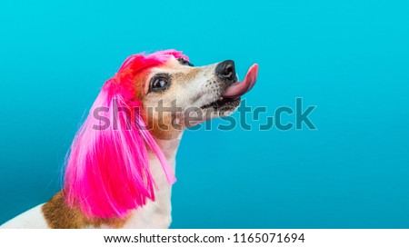 Funny dog profile in pink wig on blue background licking.