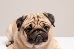 Funny dog pug breed making angry face feeling so sad and serious dog