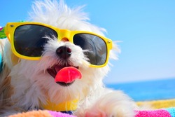 funny dog puppy with sunglasses in the beach