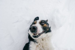 Funny dog rolling in snow. Happy comic puppy lying on back in winter. Lovely pet outdoor lifestyle  portrait. Domestic animal playing with snow. Smiling and laughing emotional canine muzzle.
