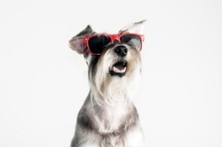 Funny dog Schnauzer in red sunglasses, isolated on white background, cool, summer.