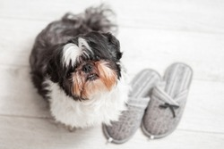 Funny dog, Shih Tzu breed. Sits on a white floor near home slippers.