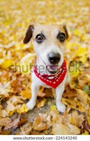 Funny dog ??walks in a beautiful autumn park. Pretty cute smiling muzzle