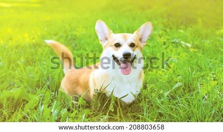 Funny dog Welsh Corgi Pembroke on the grass summer