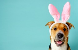 Funny dog with bunny ears and opened mouth on the blue background. Three-color easter outbred dog.