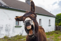 Funny Donkey Laughing at the camera