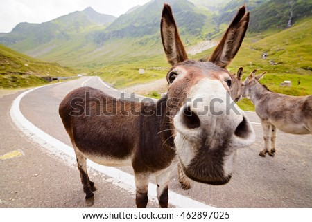 Funny donkey on Transfagarasan road in Romanian mountains #462897025