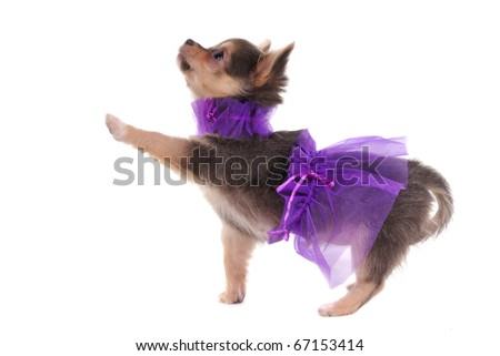 Funny Dressed Chihuahua marching with a paw up, isolated