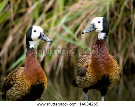 Funny Ducks Looking At The Camera Stock Photo 14034265 ...