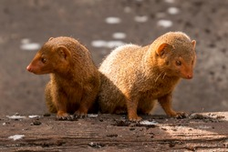 Funny Dwarf mongoose staring intensly.