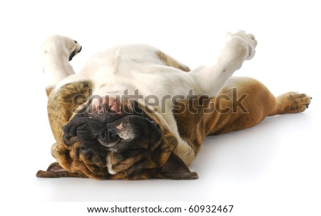 funny english bulldog laying down on back looking at viewer with reflection on white background