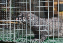 Funny European blue mink animal in a cage with wet fur after a shower in summer. Breeding animals in captivity. Fur farm, zoo