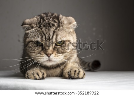funny evil gray striped cat on the table