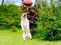 Funny face of dog playing fantasy american football at backyard garden