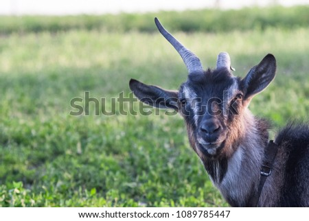 funny face small goat, Brown goat, Domestic goat, Brown goat portrait #1089785447